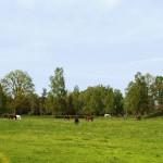 Hästarna på bete på Upploppsfältet