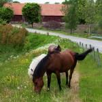 Ponnyerna fick komma ut i sommarhagen